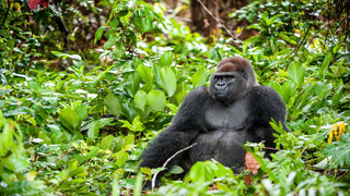 New study gives hope for endangered gorillas in eastern DRC